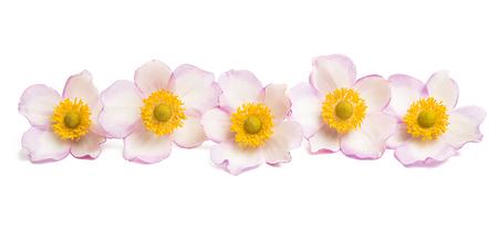 anemone hupehensis isolated flower