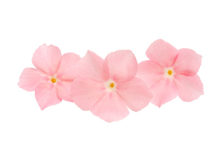 pink flower phlox isolated on white background Stock Photo