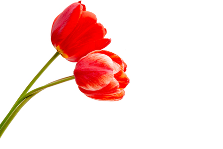 red tulip isolated on white background