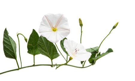 bindweed isolated on white background