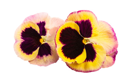 pansy isolated on white background 免版税图像