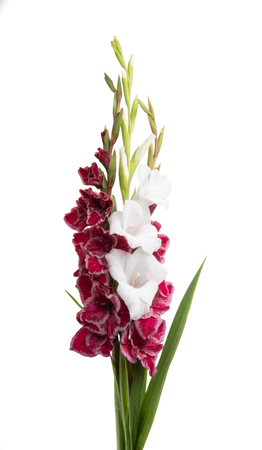 bouquet of gladioli isolated on white background Banque d'images