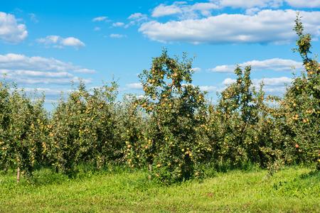 apple garden on a sunny day Stock fotó