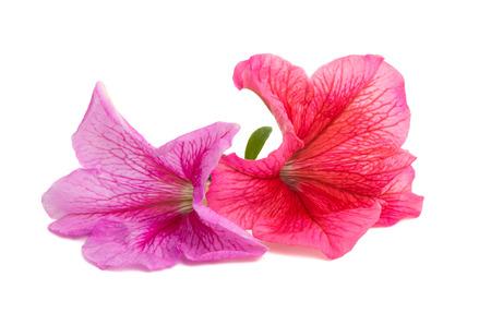 petunia flower isolated on white background