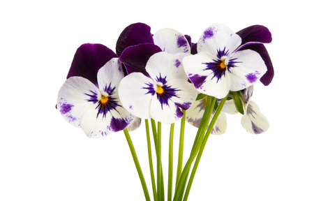 pansy isolated on white background