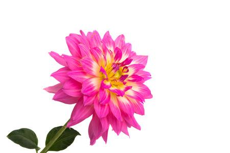 pink dahlia isolated on white background Stok Fotoğraf