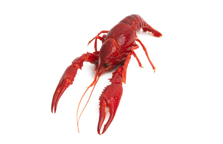 red lobster isolated on white background