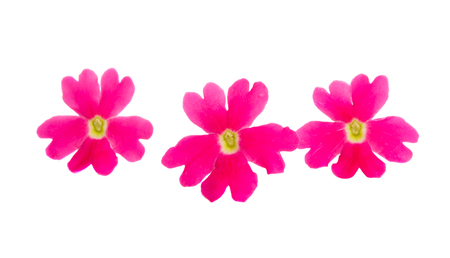 pink verbena isolated on white background Banque d'images