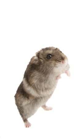 hamster isolated on white background Stock Photo