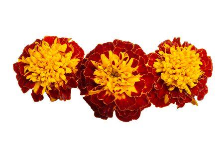Ringelblumen isoliert auf weißem Hintergrund