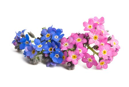 forget-me-not flower isolated on white background