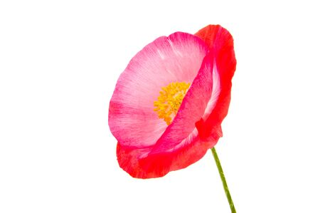 red poppies isolated on white background Imagens