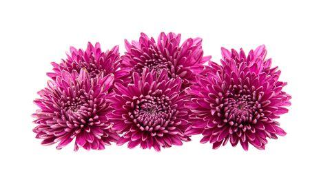 Chrysantheme isoliert auf weißem Hintergrund Standard-Bild