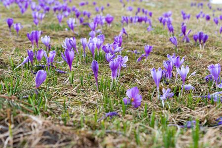 saffron blooming in early spring in the meadow Stok Fotoğraf
