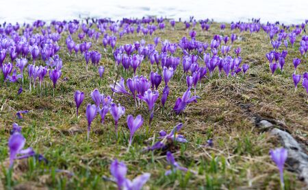 saffron blooming in early spring in the meadow Standard-Bild