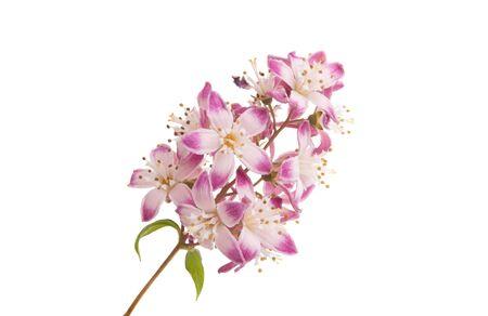 Deutzia-bloem die op witte achtergrond wordt geïsoleerd