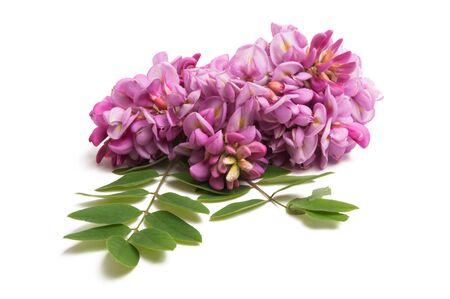 lilac acacia isolated on white background