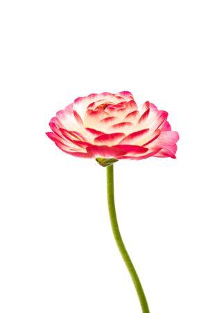 ranunculus flower isolated on white background