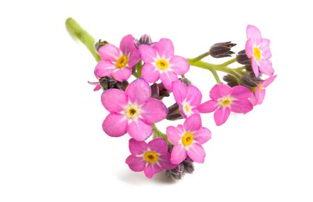 pink forget-me-nots isolated on white background 스톡 콘텐츠