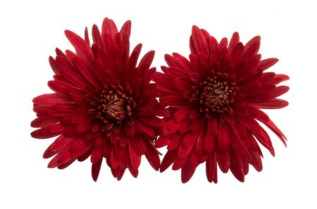 red chrysanthemum isolated on white background Stock Photo