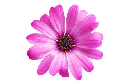 Osteosperumum bloem Daisy geïsoleerd op een witte achtergrond. Macro close-up