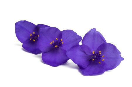Tradescantia isolated on white background