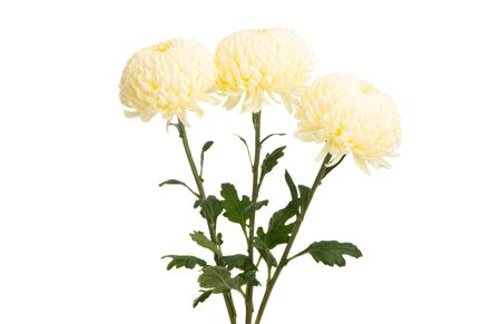 chrysanthemum isolated on white background