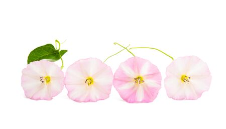 bindweed flower isolated on white background Banco de Imagens