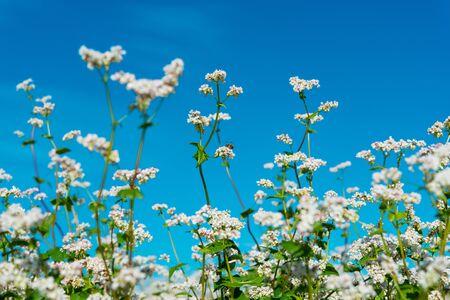 flowering buckwheat field on a sunny day