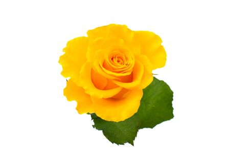 yellow rose isolated on white background Archivio Fotografico