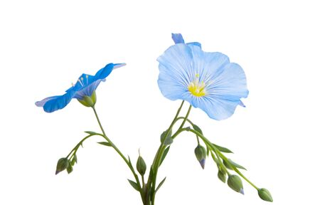 flax flower isolated on white background