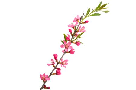 branch with almond flowers isolated on white background Banque d'images - 140907181