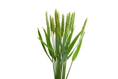 green wheat ear isolated on white background Banque d'images