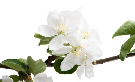 apple tree flower isolated on white background