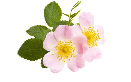 rosehip rose isolated on white background