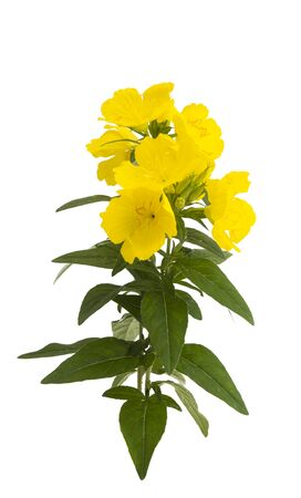 evening primrose flower isolated on white background
