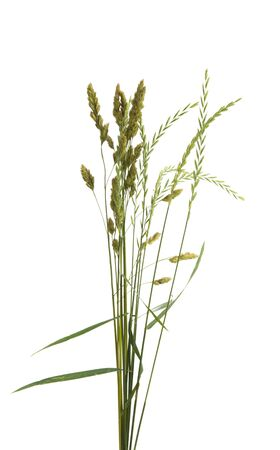 meadow grass isolated on white background