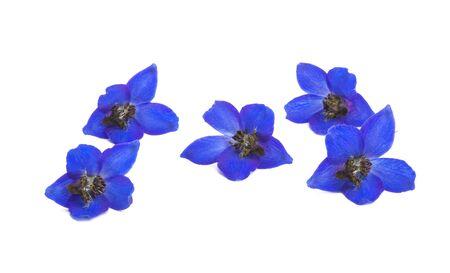 blue delphinium flowers isolated on white background