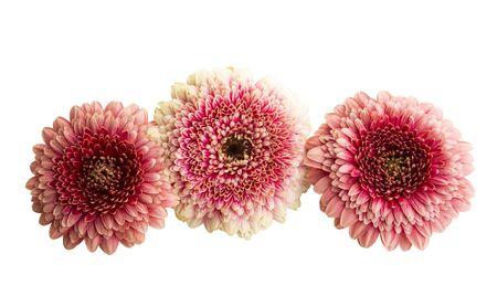 beautiful gerbera flowers isolated on white background Stockfoto