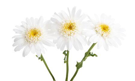 beautiful daisy flower isolated on white background Stockfoto
