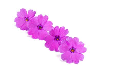 phlox flowers isolated on white background