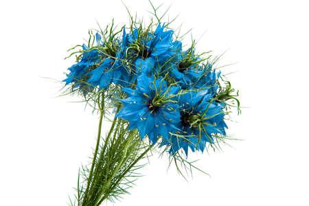 Nigella Blue isolated on white background