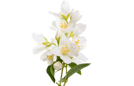 branch with jasmine flowers Isolated on white background