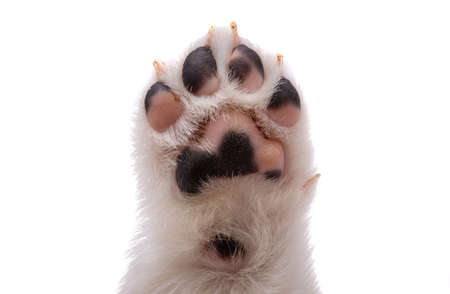 puppy paw isolated on white background Stock Photo