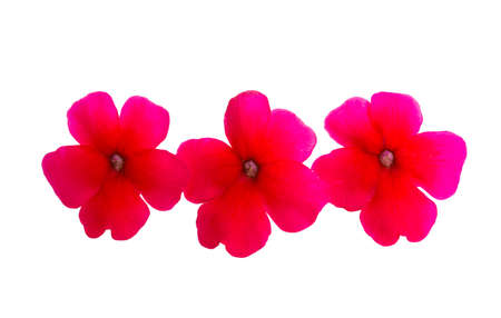 red verbena isolated on white background