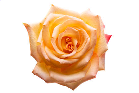 cream rose isolated on white background