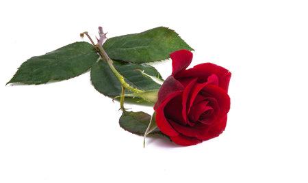dark red rose isolated on white background Zdjęcie Seryjne