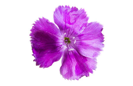 lilac carnation isolated on white background.