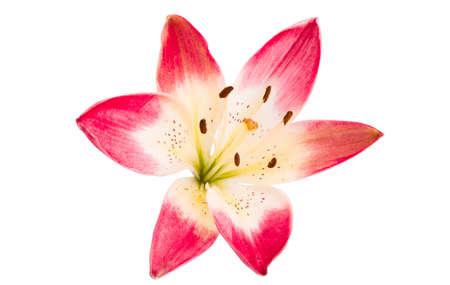 lily flower isolated on white background. Zdjęcie Seryjne