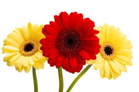 gerbera flowers isolated on white background Zdjęcie Seryjne